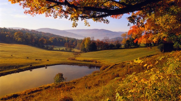 Cattle reflected in a pond near Woodstock, Vermont, USA